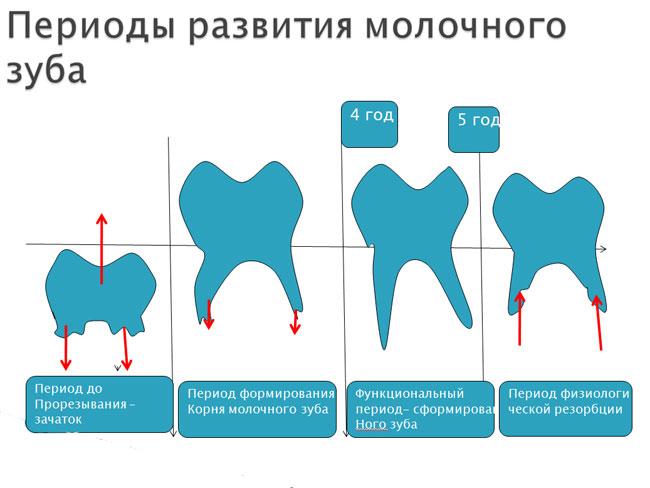 периоды развития молочных зубов